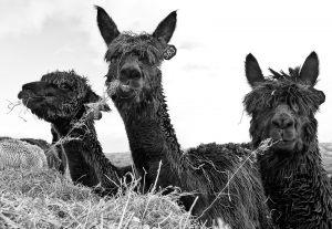 Alpacas-2_0107web